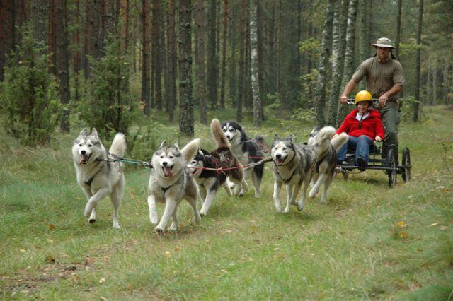 Zaprzęg psów Husky na leśnej imprezie traperskiej